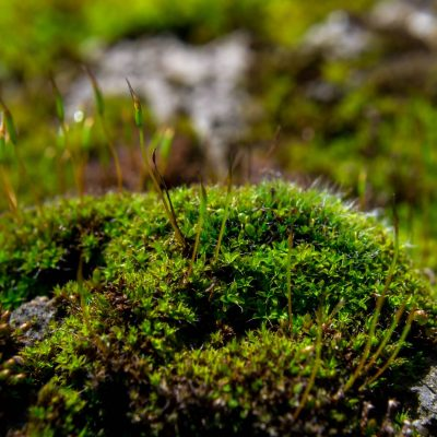 Close-up of a patch of green moss. Shallow depth of field